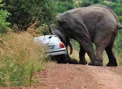 在非洲惹大象抓狂的下場