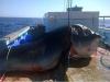漁夫剛釣到雙髻鯊正要收線拉起!結果竟意外地拉出這條從沒人見過的4公尺巨獸....