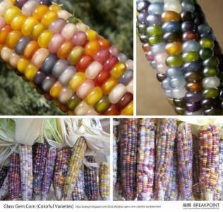 『寶石玉米』美到讓人目不轉睛