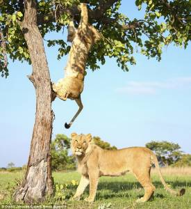 獅子兄弟爬樹打鬧搞笑瞬間