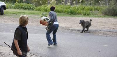 """南非厚臉皮狒狒公然""""打劫""""行人蔬菜"""