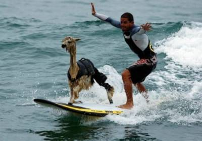 動物搞笑照:大猩猩玩遊戲機羊駝衝浪