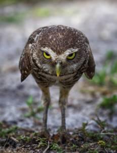鏡頭感超強的呆萌貓頭鷹:嚴肅面目下可愛非凡