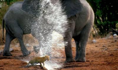 納米比亞花豹大膽靠近象群遭噴水驅趕