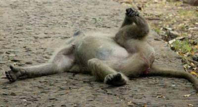 贊比亞景區狒狒霸氣佔座:堵路偷東西
