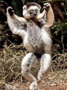 馬達加斯加狐猴大跳滑稽舞步逗樂遊客