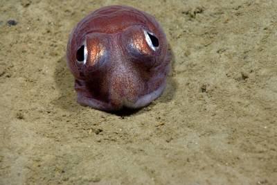 深海峽谷中的奇特可愛生物:章魚寶寶會賣萌