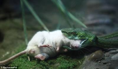 勇敢小白鼠青蛇口中營救夥伴瞬間