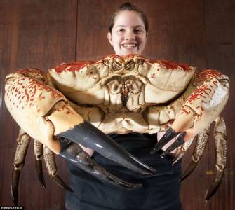 英國將展出巨型帝王蟹每隻有18斤蟹肉