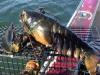 驚!漁夫花了好久時間終於捕捉到這隻「巨無霸肥蝦」!下一秒他卻嚇得把它丟回海裡,沒想到那隻龍蝦竟然...